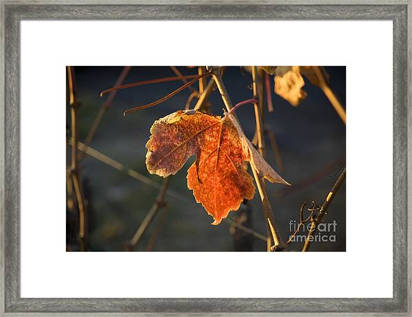 Autumn Grape Leaf Framed Print