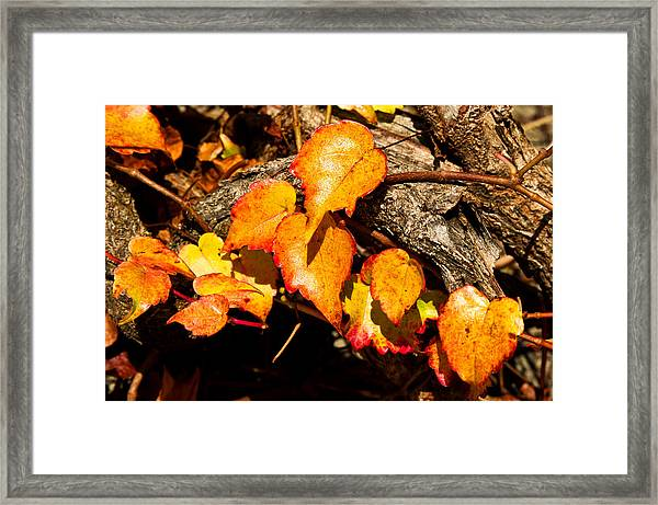 Autumn Ivy Framed Print