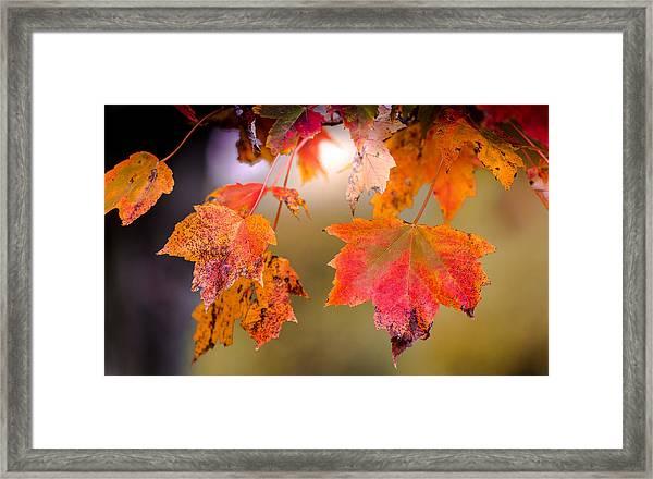 Autumn Maple Framed Print