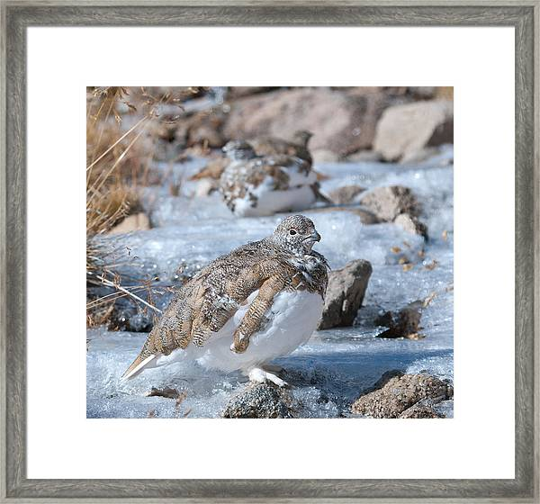 Autumn Plumage White-tailed Ptarmigan Framed Print