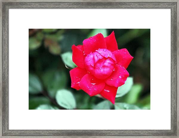 Autumn Rose After The Rain Framed Print
