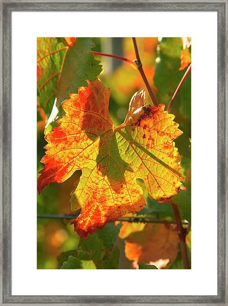 Autumn Vine Leaf, Vineyard Framed Print by David Wall