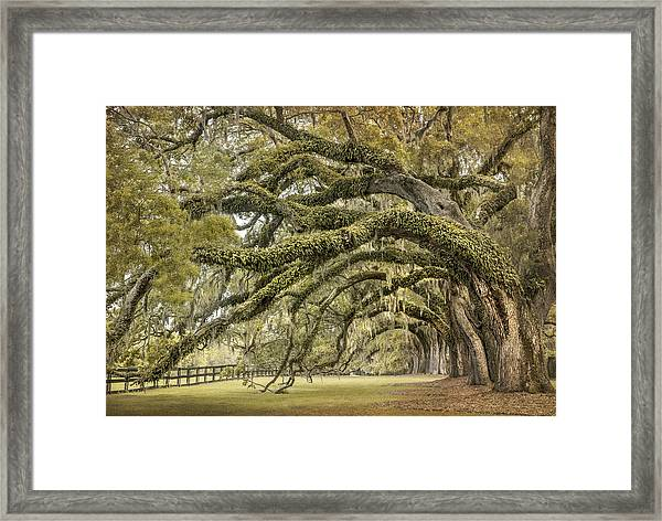 Avenue Of Oaks Framed Print