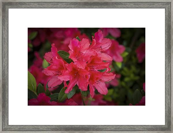 Azaleas 1 Framed Print