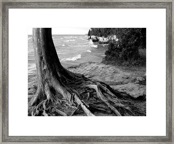 B And W Cedar Roots At Cave Point Framed Print