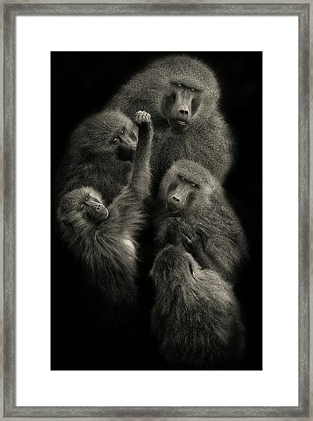 Baboons  United  Framed Print