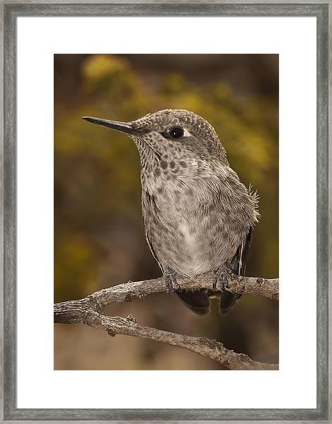 Baby Anna's Hummingbird Framed Print