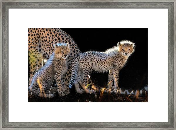 Baby Cheetahs Framed Print by Jun Zuo
