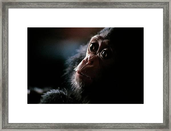 Baby Chimpanzee Framed Print