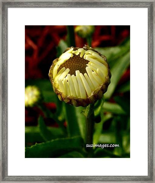 Baby Daisy Framed Print