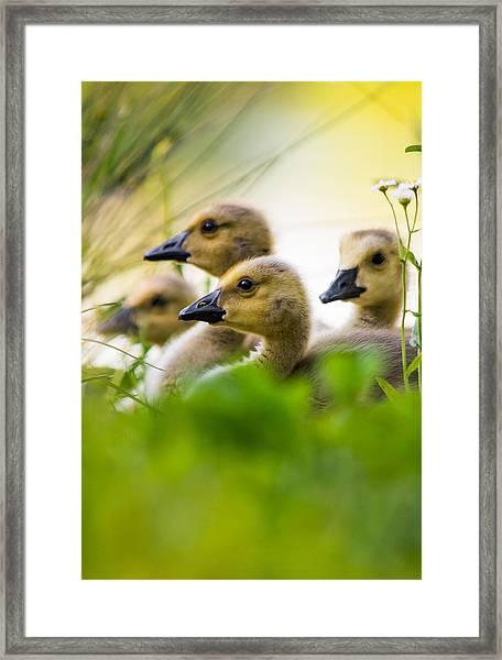 Baby Ducklings Framed Print