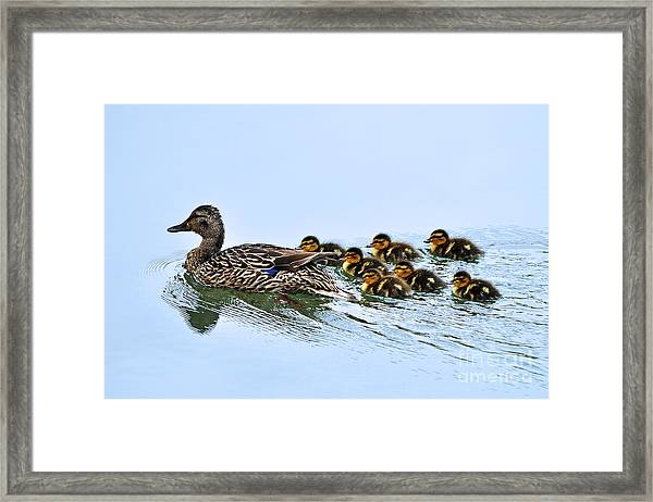 Baby Ducks Follow Framed Print
