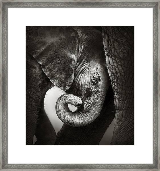 Baby Elephant Seeking Comfort Framed Print