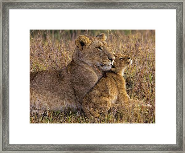 Baby Lion With Mother Framed Print by Henry Jager