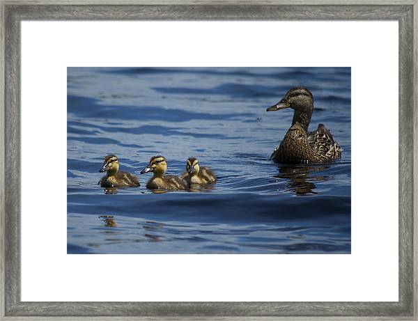 Baby Mallards And Mother Framed Print