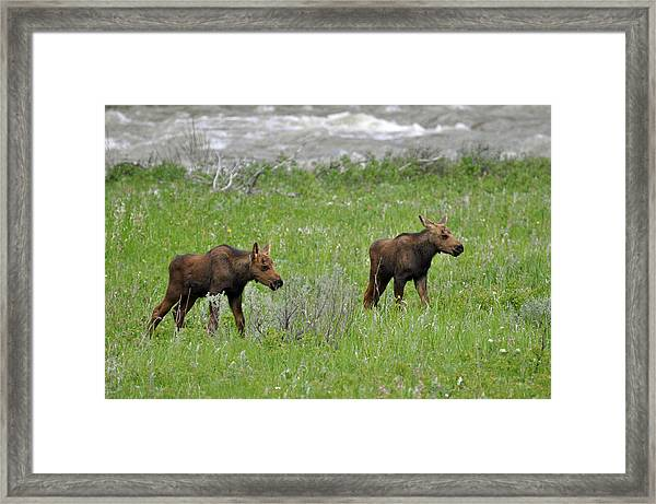 Baby Moose On The Banks Of The Gallatin Framed Print
