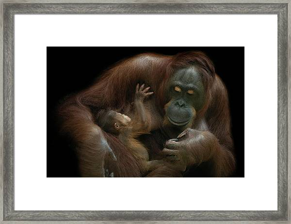 Baby Orangutan & Mother Framed Print