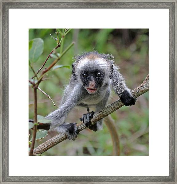 Baby Red Colobus Monkey Framed Print