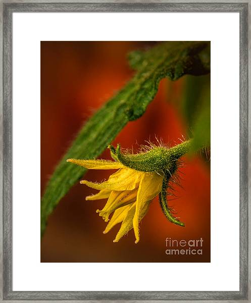 Baby Tomato Framed Print