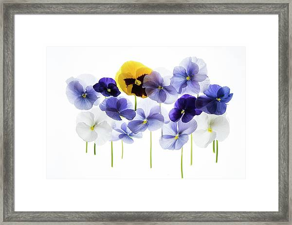 Backlit Pansies Framed Print by Photostock-israel/science Photo Library