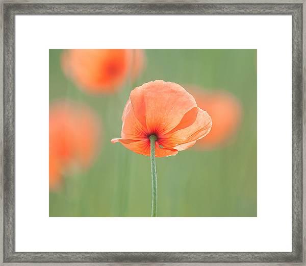 Backlit Poppies Framed Print