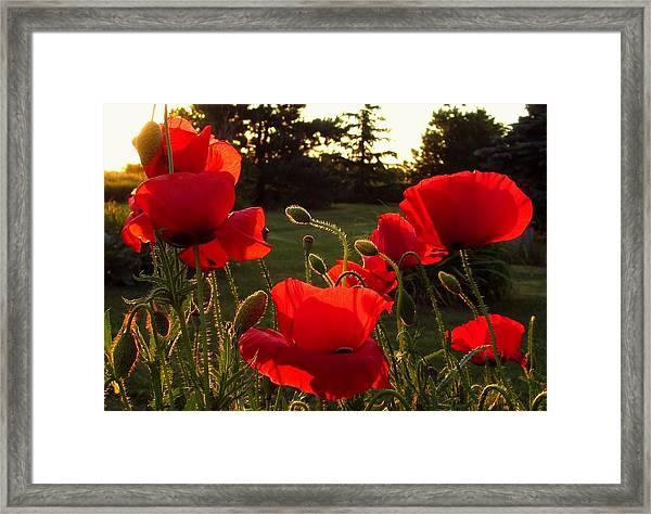 Backlit Red Poppies Framed Print