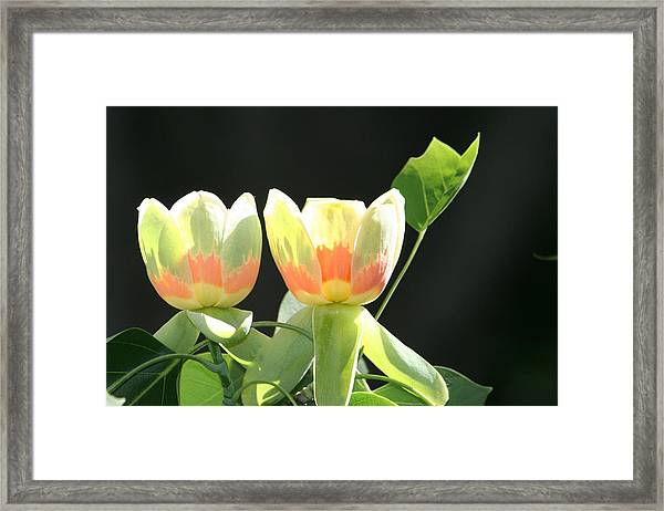 Backlit Tulips Framed Print