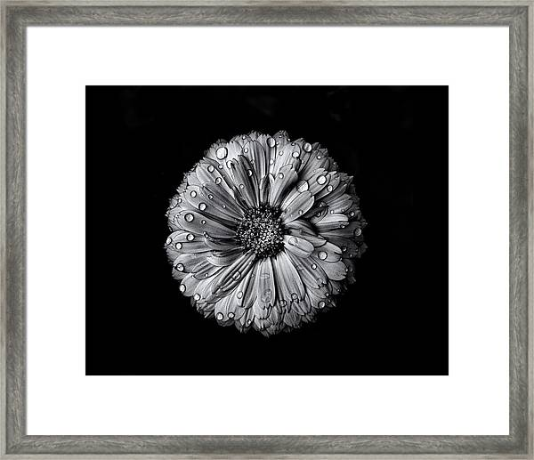 Backyard Flowers In Black And White 10 After The Storm Framed Print