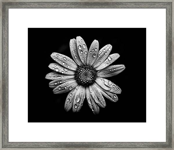 Backyard Flowers In Black And White 16 After The Storm Framed Print