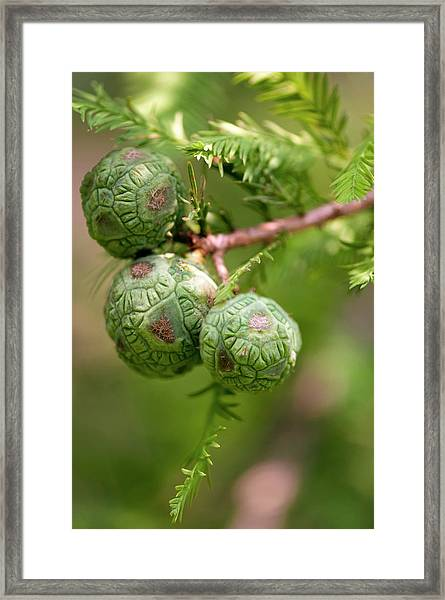 Bald Cypress (taxodium Distichum) Framed Print