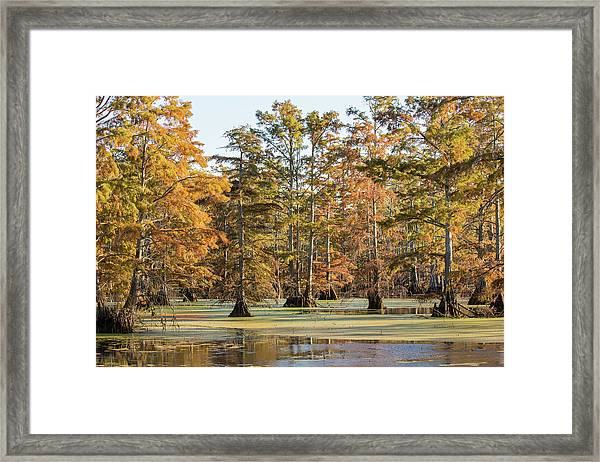 Bald Cypress Trees In Swamp, Horseshoe Framed Print