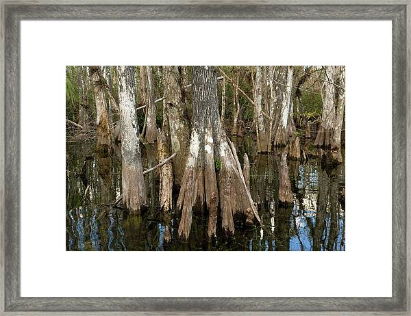 Bald Cypress Trees (taxodium Distichum) Framed Print