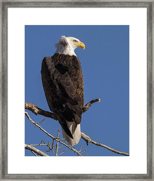 Bald Eagle 1 Framed Print