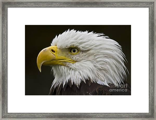 Bald Eagle - 7 Framed Print