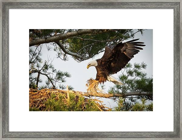 Bald Eagle Building Nest Framed Print