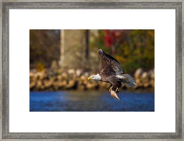 Bald Eagle In Flight Over Water Carrying A Fish Framed Print