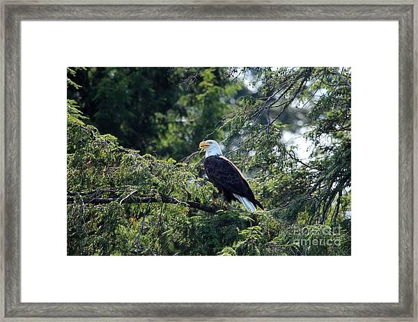 Bald Eagle Framed Print by Kathy Eastmond