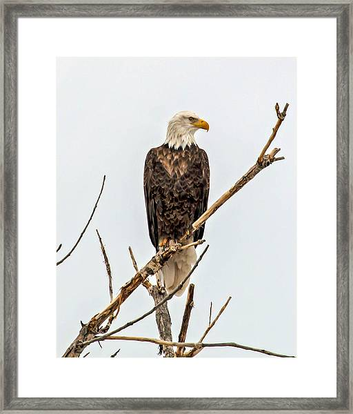 Bald Eagle On A Branch Framed Print
