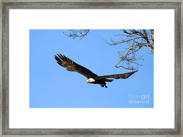 Bald Eagle Out Of The Tree Framed Print by Darrin Aldridge