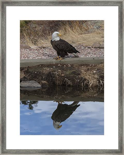 Bald Eagle Reflection Framed Print