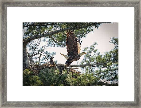 Bald Eagle With Eaglet Framed Print