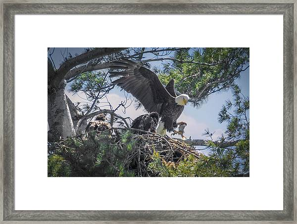 Bald Eagle With Eaglets And Fish Framed Print