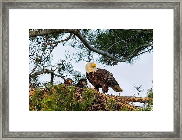 Bald Eagle With Eaglets  Framed Print
