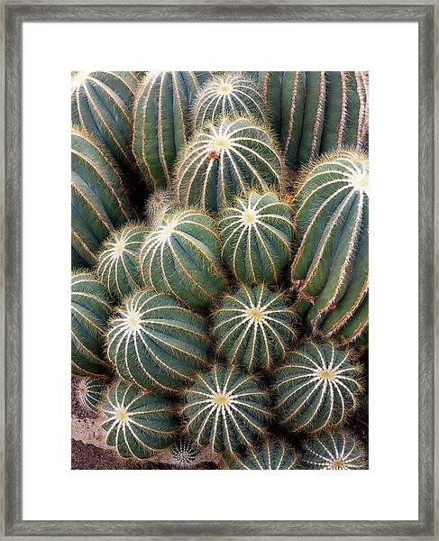 Ball Cactus (parodia Magnifica) Framed Print by Daniel Sambraus/science Photo Library
