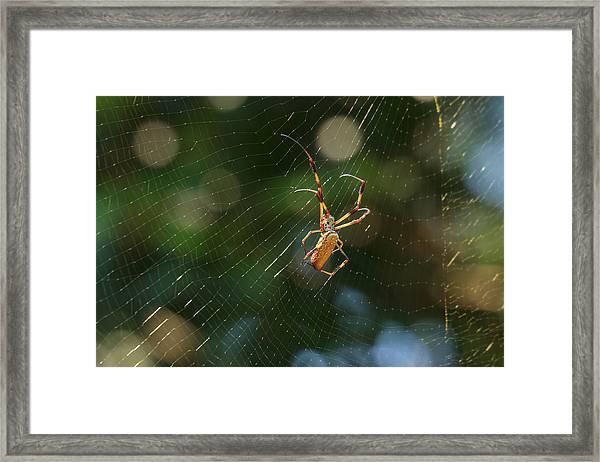 Banana Spider In Web Framed Print