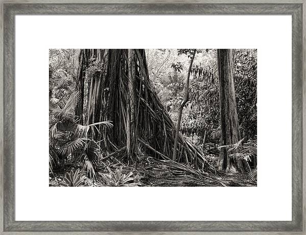 Strangler Fig And Cypress Tree Framed Print