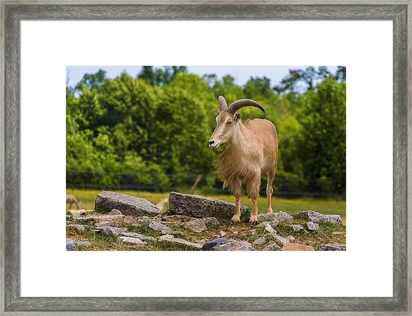Framed Print featuring the photograph Barbary Sheep by Garvin Hunter