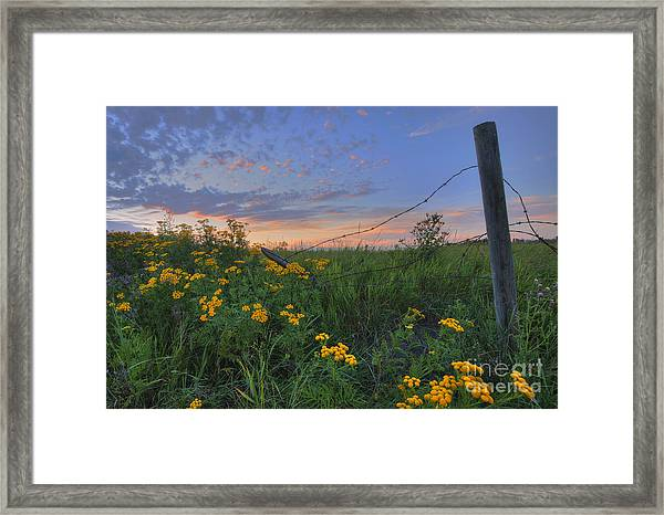 Barbed Wire And Common Tansy Framed Print