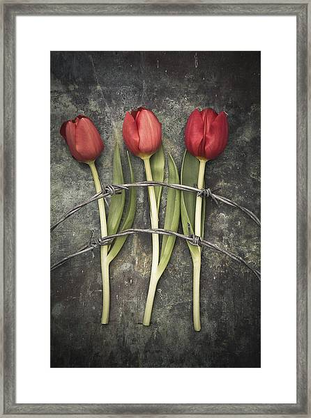 Barbed Wire And Tulip Framed Print