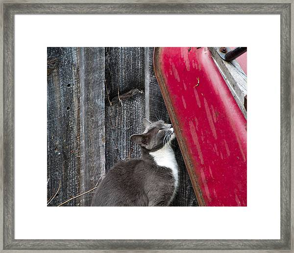 Barn Cat Framed Print by Nickaleen Neff